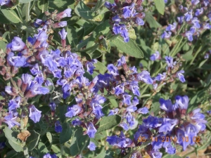 Blooming sage. Leaves crisp-fried are great addition to so many summer dishes.