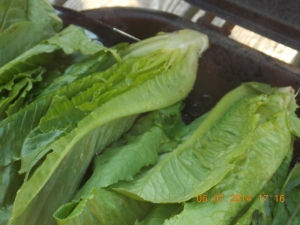 Freshly cut romaine halves on the grill, cut side down.