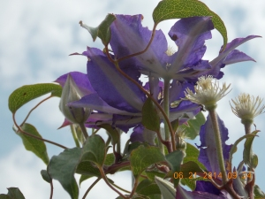 Clematis against summer clouds.