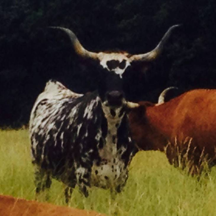 This glamorous longhorn mama lives around the corner from us and eats salad 24/7.