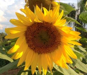 You have to admire a sunflower too stubborn to turn with the sun!